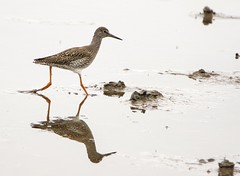 Redshank at the Eric Morecambe hide, Leighton Moss RSPB, Silverdale, Lancashire