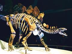 art, velociraptor, skeleton, dinosaur,