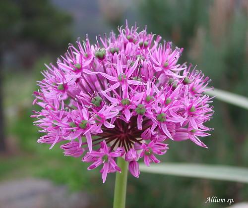 Allium sp