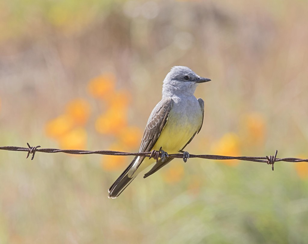 western kingbird in the poppies - Coyote Valley Open Space Preserve