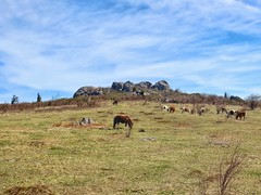 The cute, sometimes playful pack of ponies grazing atop Wilburn Ridge along the AT in Grayson Highlands State Park, VA