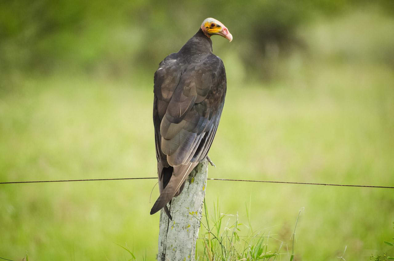 Un cuervo de cabeza amarilla (Cathartes burrovianus), de sorprendente tamaño, se posa en el poste para tomar sol, nos observa atentamente en nuestro paso por el campo. (Elton Núñez)