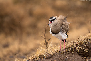 Crowned lapwing or crowned plover