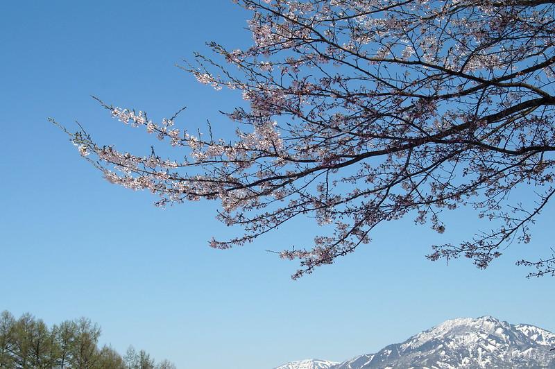 残雪と桜_201504_NO2