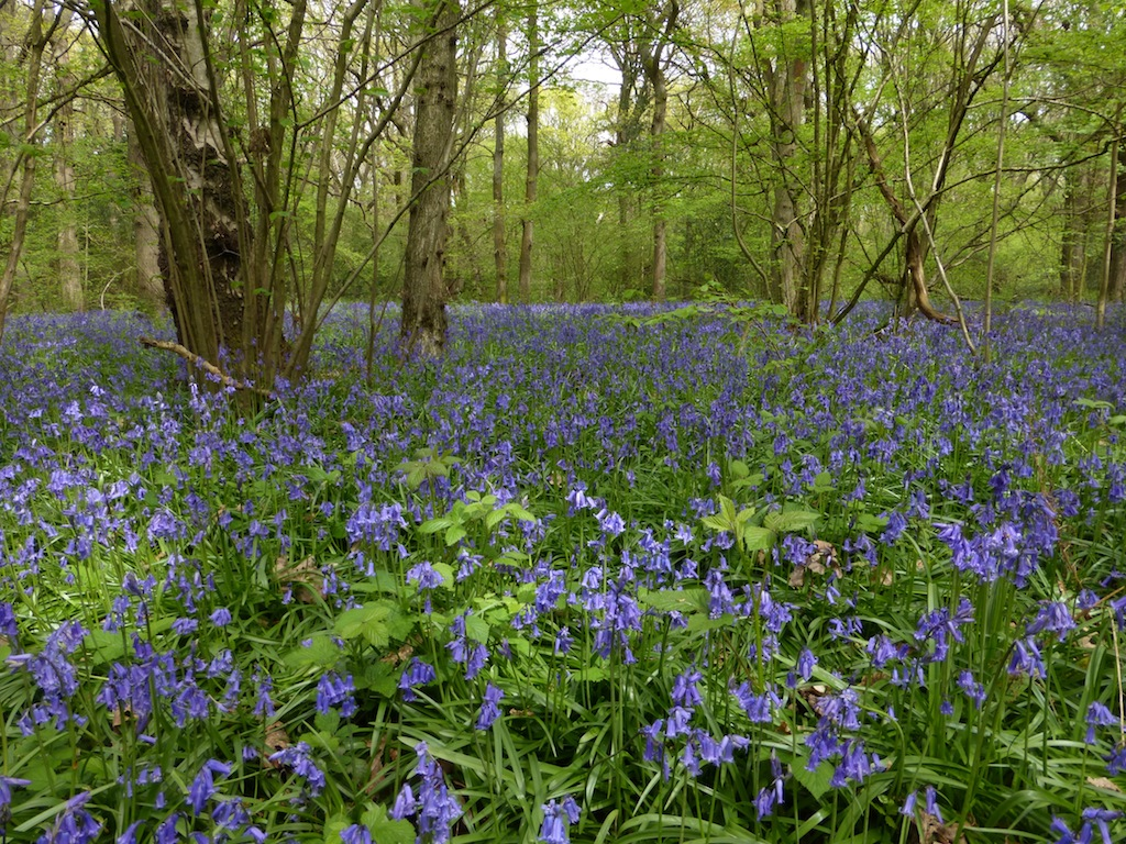 Frith Wood Just off the walk route on the Whyteleafe to Woldingham walk