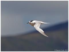 HolderDS0D2075-Sandwich-Tern,-sterna-sandvichensis