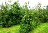 Plantación de manzanos....