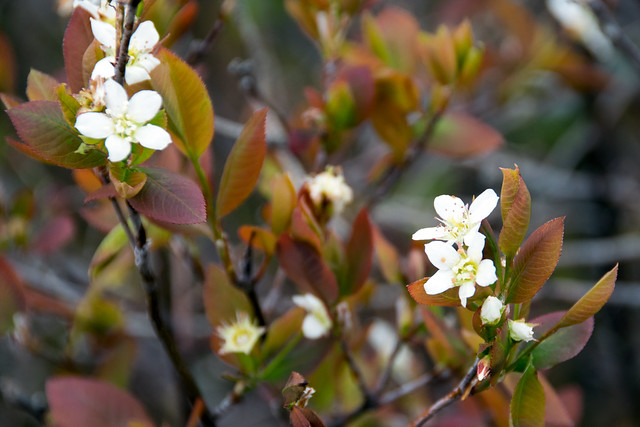 Header of Amelanchier Bartramiana