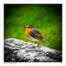 Robin Redbreast-1 by jeremy willcocks