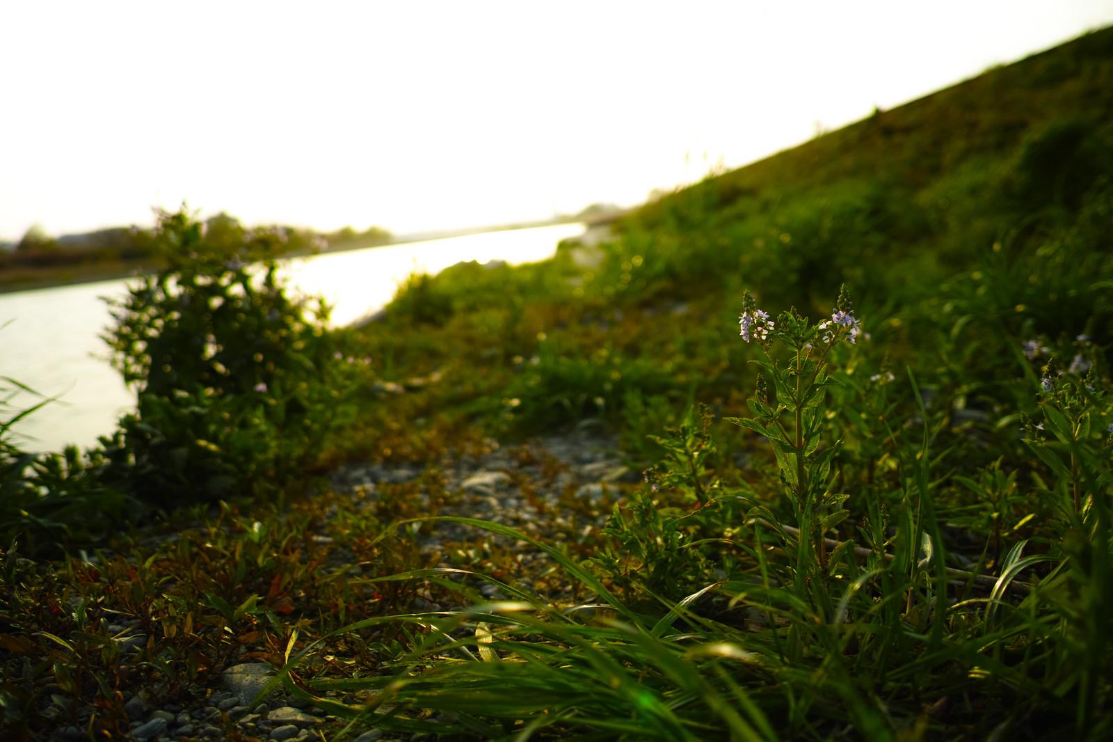 川原の花 多摩川