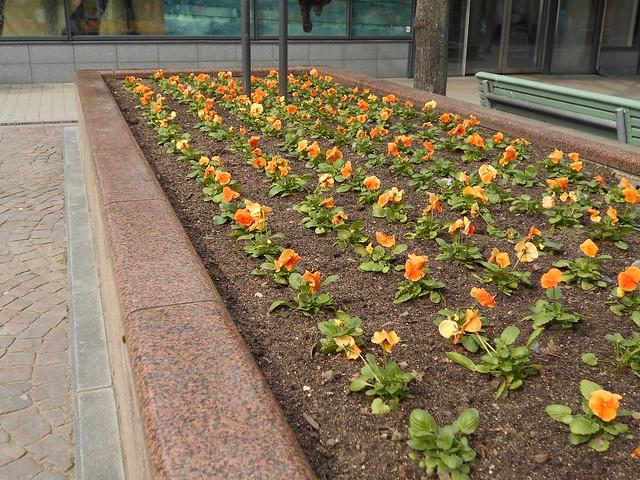 """Vapputunnelmia Hämeenlinnassa 1.5.2015; orvokkeja (Viola cv.) kävelykatu """"Reskalla"""""""