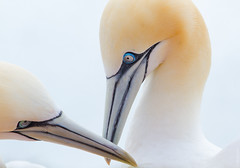 nose, animal, head, close-up, gannet, beak, bird, seabird,