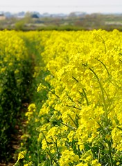 food(0.0), canola(1.0), agriculture(1.0), vegetable(1.0), flower(1.0), field(1.0), yellow(1.0), mustard plant(1.0), brassica rapa(1.0), plant(1.0), mustard(1.0), produce(1.0), crop(1.0), meadow(1.0), rapeseed(1.0),