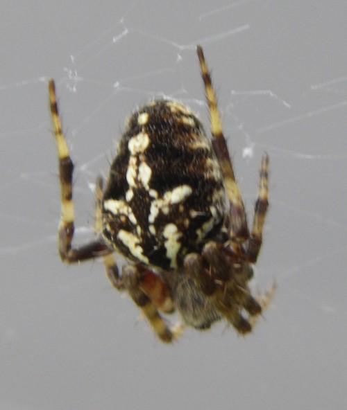 Araneus bufo 17244207872_dfa0390b8b_o