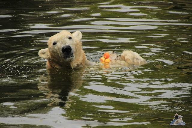 Eisbär Fiete im Zoo Rostock 04.05.2015 218