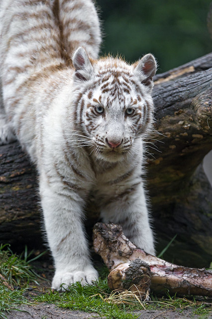White tiger cub getting down the branch