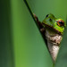 European tree frog by FlorianMueller93