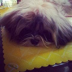I wonder if #Goldilocks will make a cake in my image...teh..heh.. ~ #WhopperShihTzu #puppy #cute #shihtzuofinstagramuse  #shihtzu