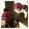 Alliums, picked from our garden tonight.