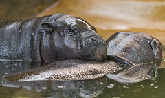 Hippo mother and daughter