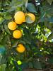 ojai oranges