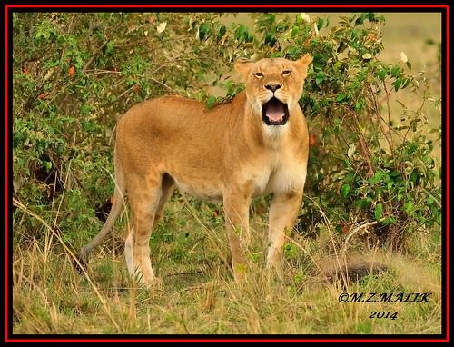 FEMALE LIONESS (Panthera leo)......MASAI MARA......SEPT 2014