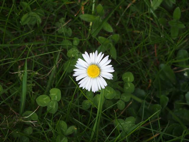 Daisy in clover