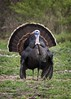 Wild Turkey 2 of 5