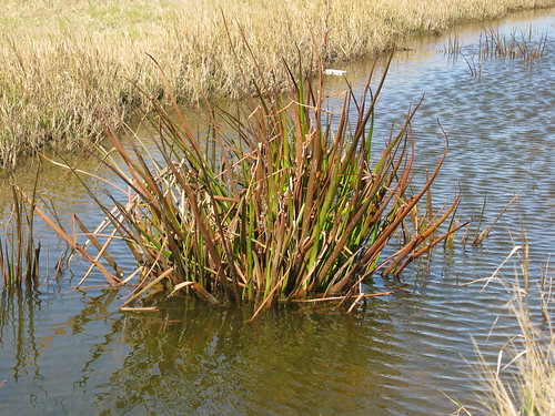 native flowersyellow frogsmouth woollywaterlily philydrumlanuginosum philydraceae plantsherb leaveslinear