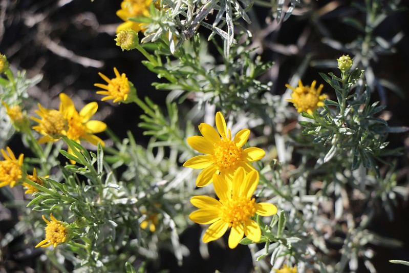 Yellow daisy wildflowers in the Anza-Borrego Desert near PCT mile 138