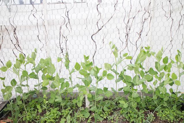 Garden May 15 2015_10