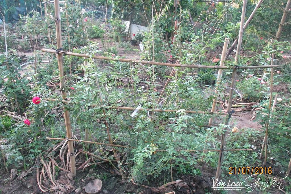 Một bụi hoa hồng leo Cẩm My (Lady of shalott) gần 1 năm tuổi trồng tại vườn