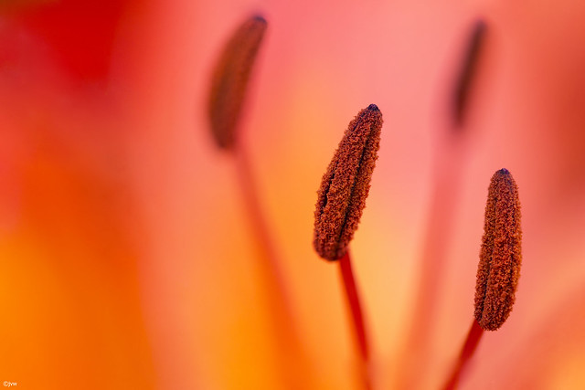 Stamen in a beautiful flower