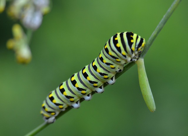 9159ex  black swallowtail caterpillar-- upward climb