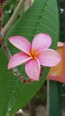 Garden Flower - Bahamas