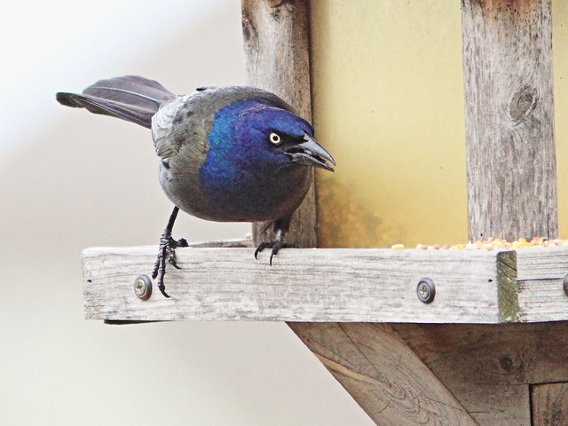 Common Grackle 20150422