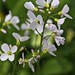 Pretty little Cuckoo flowers. by stag35v8