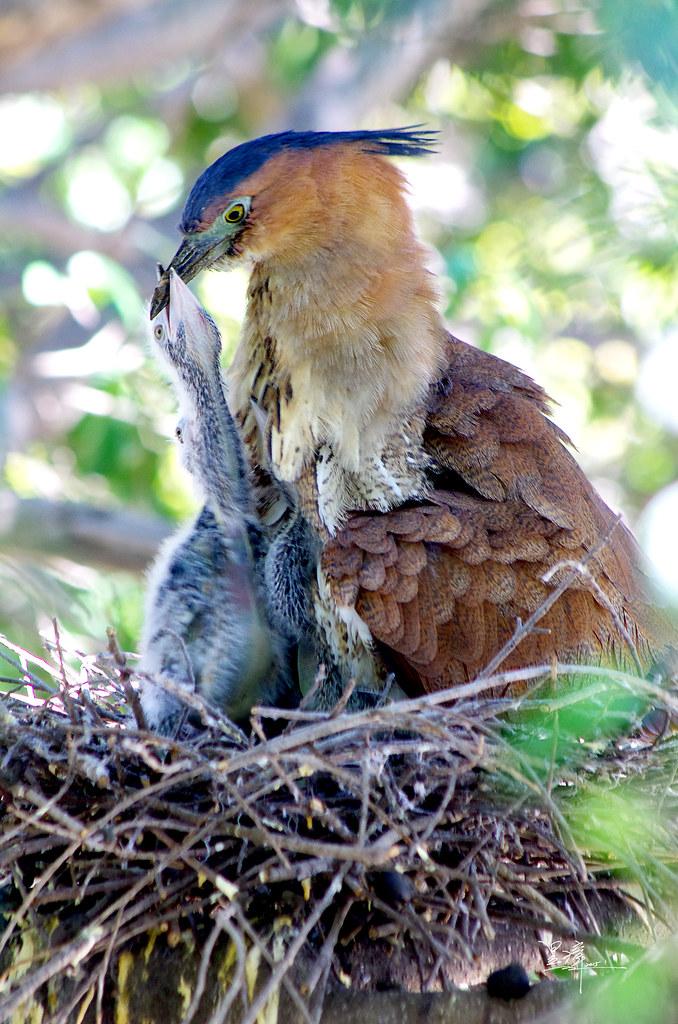黑冠麻鷺育雛