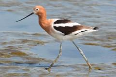 red backed sandpiper(0.0), sandpiper(0.0), animal(1.0), charadriiformes(1.0), fauna(1.0), stilt(1.0), shorebird(1.0), beak(1.0), bird(1.0), wildlife(1.0),