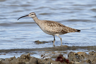 Numenius phaeopus (Whimbrel)