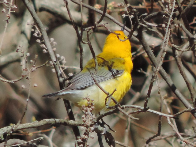 Prothontary Warbler!