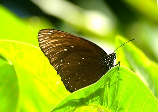 PICT0321/Indonésia/Bali Island/Canggu/Euploéa Phaénaréta Defiguratus