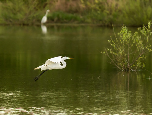 white bird water spring birdsinflight egret wetalnd stcharlescounty
