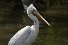 seabird(0.0), animal(1.0), pelican(1.0), wing(1.0), fauna(1.0), little blue heron(1.0), great egret(1.0), heron(1.0), beak(1.0), bird(1.0), wildlife(1.0),