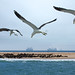 Seagulls exploring by marko.erman