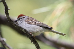 Sparrows, Towhees, Juncos, but not Old World Sparrows