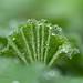 Lady's Mantle Leaf by laszlofromhalifax