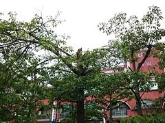 慘遭斷頭的木棉樹。圖片來源:劉慧玲