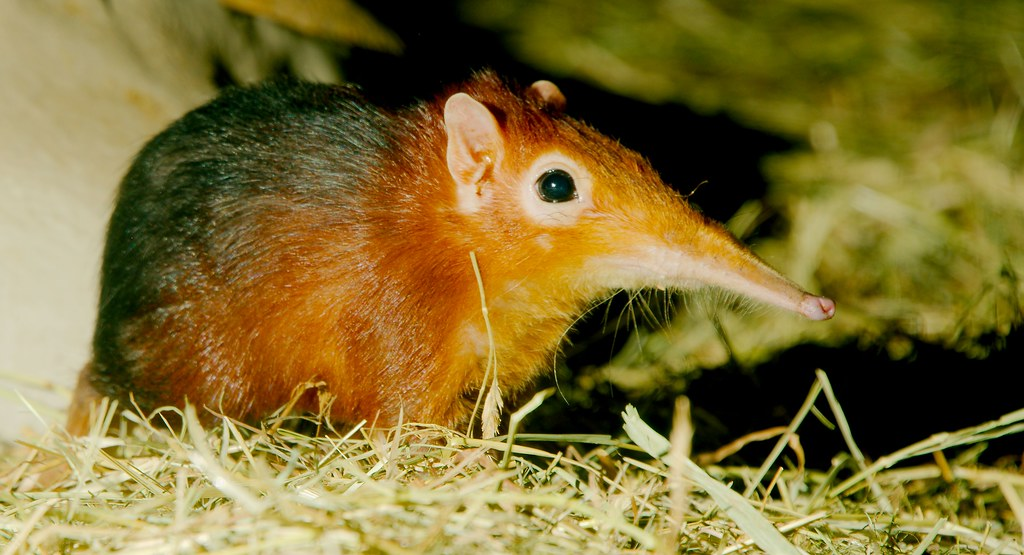 Giant Elephant Shrew_1