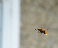 Beefly in flight